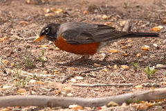 Robin Looking For Food. An American Robin getting low to look for food in New Mexico Royalty Free Stock Photography