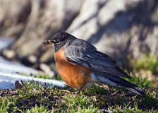 Robin looking for food. Photo was taken in Brooklyn in winter 2006 Stock Photos