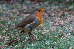 Robin Looking for Food. A British Robin on the hunt for seeds to eat Royalty Free Stock Photo