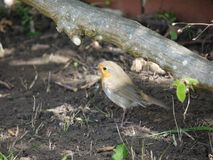 Robin looking for juicy worms. A robin on the hunt for worms and insects under a bush in a garden. dappled by sunlight in early spring Royalty Free Stock Image