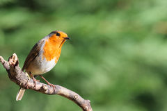 Robin in low setting sun shine Stock Images