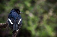 Robin Magpie orientale Immagine Stock