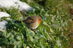 Robin. Male robin in the melting snow Stock Photo