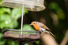Robin with mealworm in bill Royalty Free Stock Image
