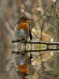 Robin met bezinning. Royalty-vrije Stock Afbeeldingen