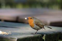 Robin met crumbs op buitenlijst bij koffie Stock Foto's