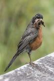 Robin met een mondvol wormen Stock Fotografie