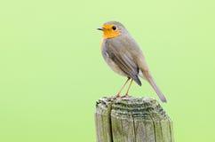 Robin met groene achtergrond Royalty-vrije Stock Afbeelding