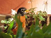 Robin met rode borst in communautaire tuin met vrij witte bloemen in de lente Stock Fotografie