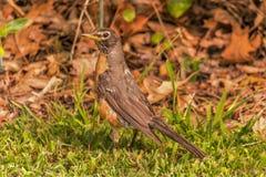 Robin met rode borst op het gras stock foto