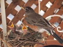 Robin met twee babykuikens in nest Royalty-vrije Stock Afbeeldingen