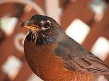 Robin met worm in mond Stock Foto's