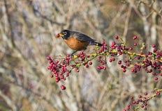 Robin mit einer roten Beere Stockbilder