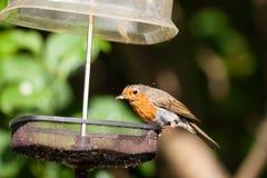 Robin mit Mehlworm in der Rechnung Lizenzfreies Stockbild