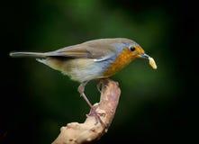 Robin mit Wachswurmlarven im Schnabel Stockbild