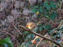 Robin morgens im Busch, schöner Vogel Stockbild