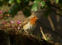 Robin in morning sun Royalty Free Stock Photo