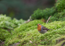 Robin upon moss. A Robin (Erithacus rubecula) stands on a thick layer of moss in the typical humid lithuanian forest stock photo