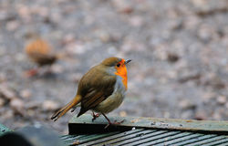 Robin on my decking. Royalty Free Stock Photo