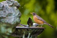 Robin nel bagno dell'uccello Immagini Stock Libere da Diritti