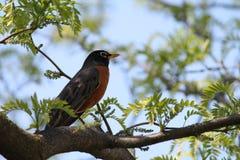 Robin nell'albero di locusta Fotografia Stock