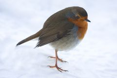 Robin nella neve Fotografia Stock