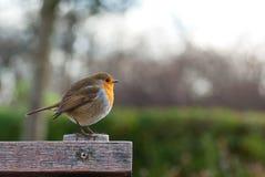 Robin nella sosta del reggente Fotografie Stock