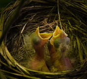 Robin nest Stock Images