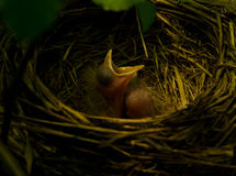 Robin nest Stock Photos