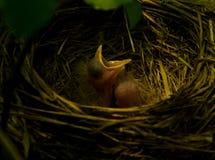 Robin nest Stock Photos