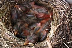 Robin Nest 5 Royalty Free Stock Image