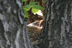 Robin in nest. An American robin nesting in the sunlight stock photography
