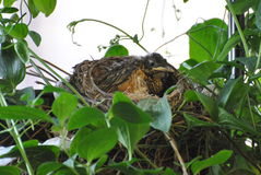 Robin in the Nest Stock Images
