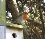 Robin on nest box Royalty Free Stock Photo