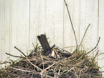 Robin in nest brooding Stock Images
