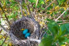 Robin Nest com ovos fotografia de stock royalty free