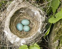 Robin Nest With Eggs Stock Photo