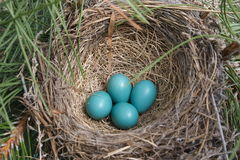 Robin Nest with Eggs Stock Photography