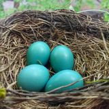 Robin Nest mit Eiern Lizenzfreie Stockbilder