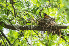 Robin in the Nest #3 Royalty Free Stock Photography