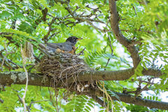 Robin in the Nest #1 Royalty Free Stock Photos
