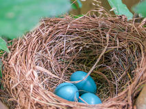 Robin Nest With Three Blue Eggs. Closeup of bird nest with three blue robin eggs inside Royalty Free Stock Image