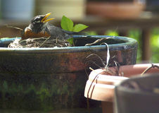 Robin nesting in flower pot Stock Images