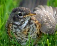 Robin non mûr dans l'herbe Image libre de droits