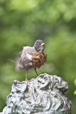 Robin nordamericano [2] (migratorius del Turdus) Fotografie Stock Libere da Diritti
