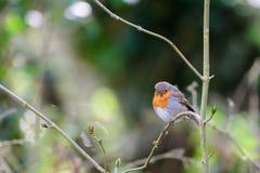 Robin op de Tak van de Boom stock foto's