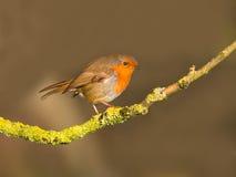 Robin op een boom Stock Afbeelding