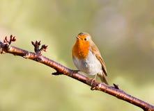 Robin op een boom Royalty-vrije Stock Foto's