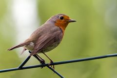 Robin op een omheining Stock Foto's