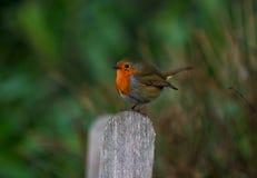 Robin op een post Royalty-vrije Stock Foto